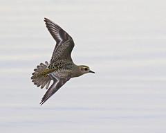 American Golden Plover (Keith Carlson) Tags: americangoldenplover plovers shorebirfds bif