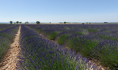 Valensole 12 (mpetr1960) Tags: valensole france europe eu perspective field lavender landscape row rows grass sky ground outdoor