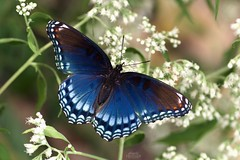 Red-Spotted Purple Butterfly (Limenitis Artemis) (Douglas Heusser) Tags: photo wildlife nature lens 90mm tamron photography macro canon lepidoptera limenitis artemis wings butterfly purple redspotted