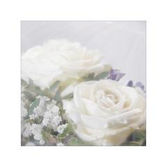 Pure (BirgittaSjostedt) Tags: rose plant nature garden texture paint white photoborder highkey birgittasjostedt ie magicunicornverybest ~themagicofcolours~xiv