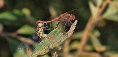 Do you think anyone will see us behind this leaf? (Explored) 6-09-16 (nick.linda) Tags: odonata 7onexplore yorkshirewildlifetrust commondarterdragonfly sympetrumstriolatum dragonflies pottericcarrnaturereserve ukwildlifetrusts canon600deos sigma105mmmacro wildandfree