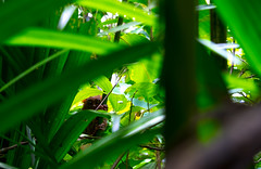 I see you! (carlosromonbanogon) Tags: tarsier bohol philippines 2016 animal wild green trees nature xt1 fujifilm amateur