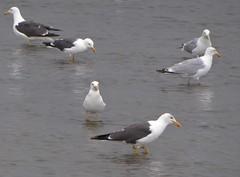 PInkewad, a mixture of gulls (Alta alatis patent) Tags: gull pinkewad lowtide mixture mantelmeeuw zilvermeeuw herringgull larusargentatus lesserblackbackedgull