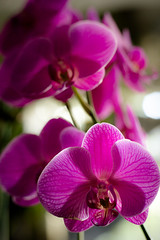 Never too late but what time did you think it was (hjl) Tags: flower orchid petals pink purple stilllife samyang samyang85mmf14