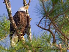 Bald Eagle (sigolsen1) Tags: speedlight600 bayport baldeagle sigma150600c birding handheld canon7d eagle youngnou florida
