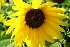 Sonnenblume (ute_hartmann) Tags: