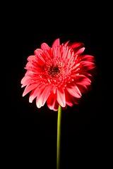 Gerbera Rosa (Sol Clayton) Tags: flower color pink rosa gerbera