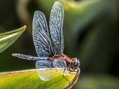 Erythrodiplax abjecta (Rambur, 1842) -male- EXPLORED 16/09/2016 (PriscillaBurcher) Tags: dragonlet erythrodiplaxabjecta erythrodiplax odonata dragonfly dragonflies skimmer liblula libellulidae colombia l1050501 explored coth5 ngc