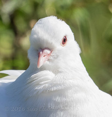 White Dove (Nanooki ʕ•́ᴥ•̀ʔっ) Tags: rspbpulboroughbrooks dove whitedove bird