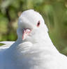 White Dove (Nanooki ʕ•́ᴥ•̀ʔっ) Tags: rspbpulboroughbrooks dove whitedove bird