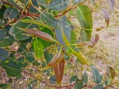 Unworn (elphweb) Tags: australia falsehdr fhdr gumtreeleaves newleaves gumtree