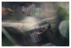 Spider's hallucination (s1nano) Tags: nikontc200 tamron90mmspmacrof25 nikond7000 oldmacrolens manualfocuslens nature macro hallucination spider web cobweb spiderweb bug arachnophobia colours colors arachnides woods forest light bokeh dof flare rainboweffect iridescentgossamerthreads