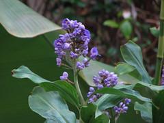 Purple Flowers (Terry Hassan) Tags: usa florida palmbeach flaglermuseum whitehall courtyard purple flower leaves leaf custer