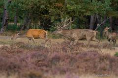 Testosteron!!!!! (fire111) Tags: testosteron red deer edelhert bronst oestrus hoge veluwe netherlands nederland
