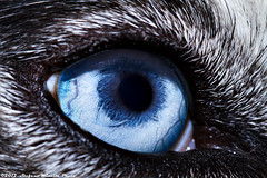 327/365 [365 Project] - Ombra Eye (Stefano.Minella) Tags: macro eye beautiful photoshop canon project eos is photo husky day with post 33 ombra © 100mm 7d l production 365 usm f28 ef 2012 stefano lightroom the 327 minella cs5 327th 327365