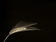 La espiga de oro (Valle Siles) Tags: light plant black detalle