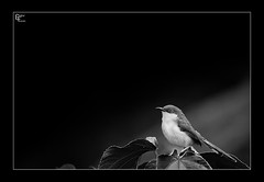Ashy Subdued (Giridhar-Photography) Tags: bw india bird nature birds stand natural bangalore royal monotone hebbal prinia karnataka simple bg ashy subdue