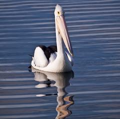 gentle giant (Fat Burns ☮) Tags: bird australian pelican australianpelican specanimal bestcapturesaoi elitegalleryaoi rememberthatmomentlevel1 rememberthatmomentlevel2 rememberthatmomentlevel3 vigilantphotographersunite vpu2 vpu3 vpu4 vpu5 vpu6 vpu7 vpu8 vpu9 vpu10