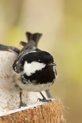 Coal Tit 22nd-April-12 (linlaw39) Tags: bird nature closeup scotland spring aberdeenshire bokeh wildlife lindal aperturepriority coaltit 70300mmlens mintlaw canoneos500d april2012 22042012