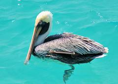 Pelican (in Explore) (gillybooze (David)) Tags: ©allrightsreserved bird pelican explore bonaire caribbean vigilantphotographersunite vpu2 vpu3 vpu4 vpu5 vpu6 vpu7 vpu8 vpu9 vpu10 outdoor