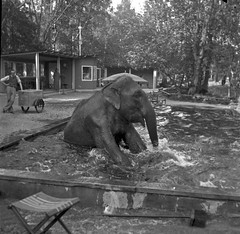 Taku tar sig ett dopp (Lnsmuseet Gvleborg) Tags: blackandwhite bw elephant pool vintage bath sweden bad gvle elefant dip 1937 taku svartvitt bassng dopp gstrikland furuviksparken