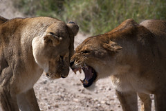 Angry lionesses (Katrine Lemming) Tags: africa lion anger flies savannah serengeti lioness tanzanis