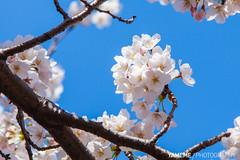 Cherry Blossoms / Tokyo, Japan (yameme) Tags: travel flowers nature japan canon eos tokyo explore  sakura shinagawa cherryblossoms    meguro    24105mmlis  5dmarkii 5d2
