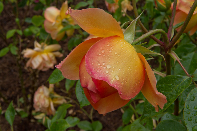 Rose at Nymans