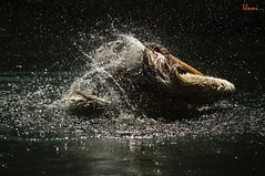 Splash (tsunni) Tags: sigma pelican 300 splash 70 d3100