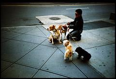 the herder (brownbeatle) Tags: street city nyc newyorkcity newyork film dogs analog lomo chelsea manhattan candid streetphotography lomolca sidewalk leash fujicolorsuperia200