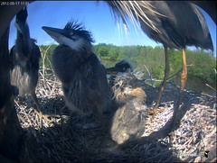 The smallest chick gets a big fish and stands a little unsteadily. (y.mclean) Tags: heron nest cornell ornithology greatblueheron sapsuckerwoods cornelllabofornithology