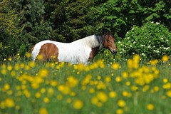 Indie in the buttercups (PhotoCet) Tags: horses horse caballo cheval paint indie pferd skewbald cabalo photocet