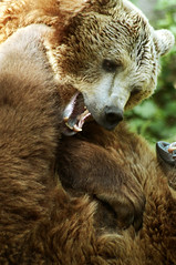 Playtime (Porfidax) Tags: life bear red brown game rome color green eye animal fur fun nikon bokeh brother sigma fang 70300 biopark d5000 nikonclubit highqualityanimals