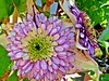 Gorgeous beauties (Explored, best # 88 on 28th May 2012) (presbi) Tags: flower fiori thegalaxy saariysqualitypictures mygearandme mygearandmepremium mygearandmebronze mygearandmesilver mygearandmegold ringexcellence rememberthatmomentlevel1
