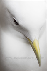 Kittiwake Portrait (cjdolfin) Tags: sea portrait england white bird eye nature wildlife gull beak feathers farneislands avian seabird kittiwake rissatridactyla cjdolfin