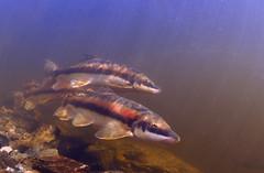 The Perfect Moment (Fish as art) Tags: northern sucker yellowknife pesce рыба undervanns longnosesucker deepnorth рыбнаяловля fishphotography подводной vedenalainen canadianfishes fishesofalaska neðansjávar neðansjávarljós fishesofthegreatlakes paulvecseiphoto underwaterfishphotography underwaterphotographypaulvecsei lucesubacquea