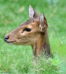 deer (Venugopal Bsnl) Tags: googleimages indiandeer
