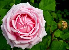Fibonacci Pinwheel (Eddie C3) Tags: pink flowers roses rose garden gardening nybg newyorkbotanicalgarden fibonaccispiral fibonaccisequence peggyrockefellerrosegarden