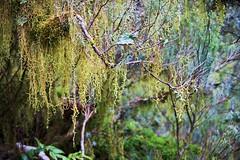Old Man's Beard lichen (Tomas Sobek) Tags: newzealand green nature forest southland oldmansbeard moist usnea beardlichen treemoss tuataperehumpridgetrack