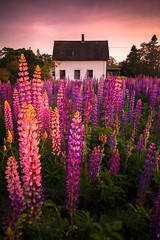 Lupine Cottage (Nate Parker Photography) Tags: sunset purple maine lupine mainecoast mountdesertisland purpleflowers acadianationalpark lupines haveaniceday lupinefield maineflowers westtremont fieldoflupines lupinelandscape lupinesunset mainecoastflowers