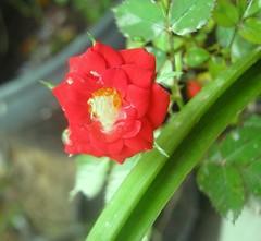 mini rosa vermelha (Thay Passos) Tags: macro minirosa canona480