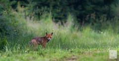 IMG_0975.jpg (lilian.lemonnier) Tags: mammals roux mammalia carnivores redfox vulpesvulpes renard carnivora canidae mammifres renardroux canids