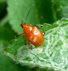 Chrysomelidae: Eumolpinae (gailhampshire) Tags: costa rica coleoptera chrysomelidae eumolpinae