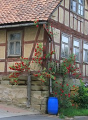 Thuringian Sleeping Beauty´s home (:Linda:) Tags: blue house abandoned window rose germany village redrose thuringia container gutter climber 50 propertynumber rainbarrel decaying downspout halftimbered fachwerk dachrinne downpipe timberframing climbingrose kletterrose unterland regentonne simmershausen