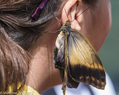 The latest in accessories, the butterfly earring! (SF knitter) Tags: girl butterfly illinois earring ear owlbutterfly preserves cookcounty caligomemnon chicagobotanicgarden cookcountyforestpreserves