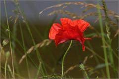 Field Poppy - papaver rhoeas (Linton Snapper) Tags: red flower poppy wildflower papaverrhoeas fieldpoppy tonysmith