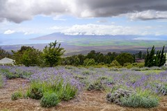 Scenes from the Kula Lavender Farm - Due West (John-Morgan) Tags: ocean usa gardens clouds landscape island hawaii highlands lavender maui vista farms hdr kula johnmorgan lumixg3 vario1442mmois
