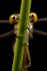 Damselfly - Hide and seek! (Muzby1801) Tags: above blue autumn summer hairy colour detail macro green nature beautiful up canon insect lens creativity spider photo interestingness spring amazing nice interesting eyes close wasp dragonfly wildlife extreme watch great bugs 100mm best frog sharp bee bbc tiny crop times 28 manual common popular lifesize damselfly armour emerald antenna hoverfly sensor damselflies hairs robber 4x stacker mpe 65mm 3x springwatch 5x photostack zerene 60d countryfile macrolife