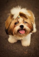 Minduim - happy dog  (Natlia Viana) Tags: dog baby cute sweet shihtzu cachorro lovely happydog minduim natliaviana