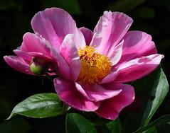 Peony Beauty (*Gitpix*) Tags: pink flowers flower color macro nature closeup moving petals nikon yellwo blossom natur blumen peony pistil gelb stamen coolpix bud blume makro blüte blütenblätter nahaufnahme farben stempel knospe blüten paeonia pfingstrosen pfingstrose bewegen peonys päonien blütenstempel